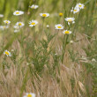 Foto Stock: Camomiles on lawn