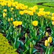 Stock Photo: Beautiful yellow tulips outdoors