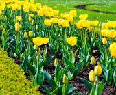 Beautiful yellow tulips outdoors — Stock Photo