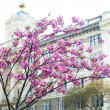 Blooming magnolia tree in springtime - Stock Photo