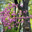 Blooming magnolia tree in springtime — Stock Photo #10662953