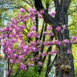Blooming magnolia tree in springtime — Stock Photo