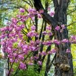 Blooming magnolia tree in springtime — Stock Photo