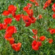 Poppies on green field — Stock Photo #10723324