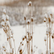 Dried thistles in a field that covered with snow — Stock Photo