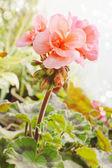 Gerânio rosa — Foto Stock