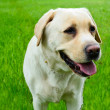 Labrador retriever portrait against green grass — Stock Photo