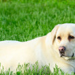 Portrait of beautiful labrador retriever — Stock Photo