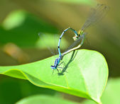 Dragonflies mating macro shot — Stock Photo