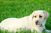 Portrait of beautiful labrador retriever — Stock Photo