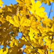 Yellow autumn leaves against  blue sky background — Stock Photo