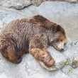 Grizzly bear sleeping in Zoo — Foto Stock