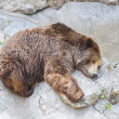 Grizzly bear sleeping in Zoo — Stock fotografie