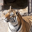 Bengal tiger profile — Stock Photo