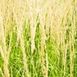Royalty-Free Stock Photo: Dry grass field