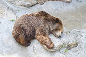 Grizzly bear sleeping in Zoo — Photo