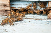 Working bee macro shot — Stock Photo