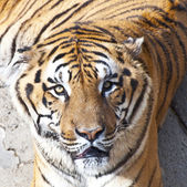 Bengal tiger portrait — Stock Photo