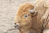 Bison portrait — Stock Photo