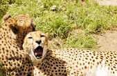 Cheetah couple — Stock Photo