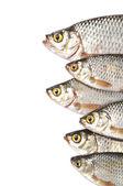 Fishes isolated on white background — Stock Photo