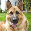 Stock Photo: Portrait of Germshepherd
