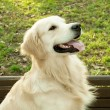 Stock Photo: Golden Retriever posing
