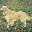 Golden Retriever posing — Stock Photo #8538523