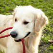 Stock Photo: Golden Retriever playing with rope