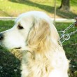 Stock Photo: Womholding dog on chain