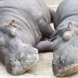 Hippopotamus couple sleeping - Stock Photo