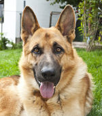 Portrait of German shepherd — Stock Photo