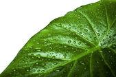 Feuille verte avec de l'eau descend isolé sur blanc — Photo