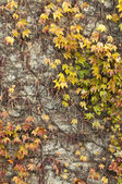 Colorful ivy wall background — Stock Photo
