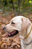 Labrador Retriever portrait — Stock Photo