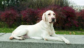 Labrador Retriever posing in park — Stock Photo