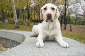 Labrador Retriever looking at camera — 图库照片