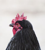 Black rooster profile close-up shot — Stock Photo