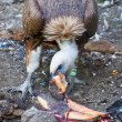 Vulture eating meat - Stock Photo