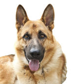 German shepherd isolated on white — Stock Photo