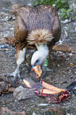 Vulture eating meat — Stock Photo