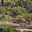 Rows of olive trees - olive tree plantation — Stock Photo