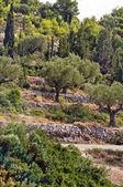 Rijen van olijfbomen - olijf boom plantage — Stockfoto