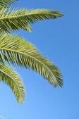 Palm leaves in front of blue sky — Stock Photo