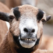 Laughing goat portrait - ストック写真