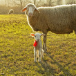 Stock Photo: Sheep and lamb