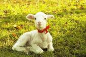 Beautiful small lamb — Stock Photo