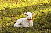 Mała owieczka odpoczynku na trawie — Zdjęcie stockowe