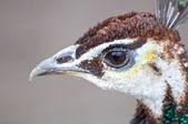Peacock close up — Stock Photo