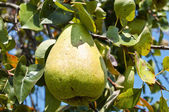 Pear on a tree — Stock Photo